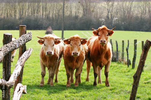 Papiers peints Vache vache marron
