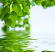 Tilleul sur l'eau