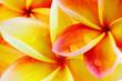 fond de fleurs roses de frangipanier