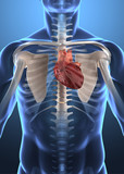 Human anatomy - heart in chest poster