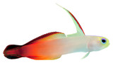Fire Fish (Magnificent Hover Goby) poster