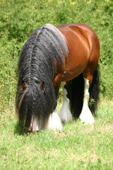 Irish Tinker / Irish Cob Hengst