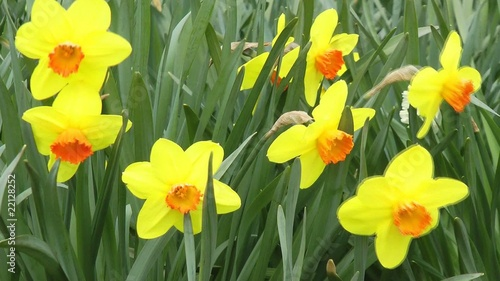 Gelbe Narzissen - Video - Yellow Daffodils