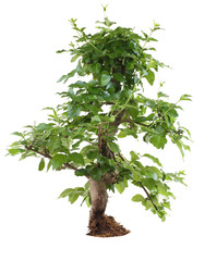 ligustrum bonsai isolated on white