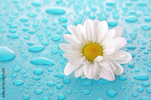 White camomile on blue background