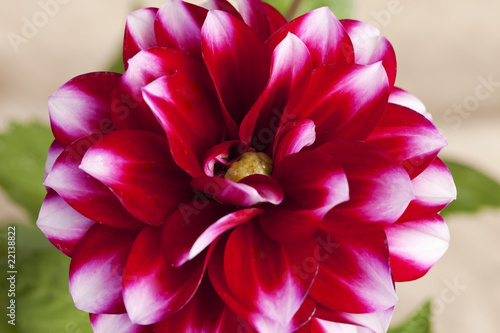 Macro of a Beautiful Dahlia Flower