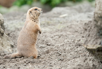 close-up of a cute prairie dog (Cynomys)