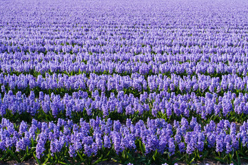 Field of violet flowers - Hyacint