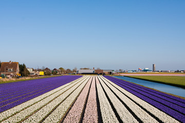Field of violet and white flowers