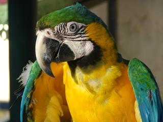 Perroquet magnifique