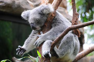 A koala sleeps in a eucalyptus tree
