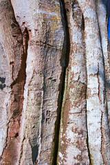 france,île de france,78 : tronc de hêtre en vallée de chevreuse