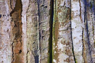 france,île de france,78 : hêtre en forêt, écorce