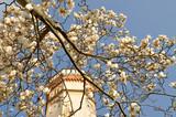 White Magnolias at the Slivnica Castle, Slovenia