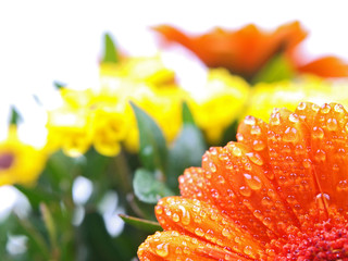 morning dew drops on orange and yellow flowers