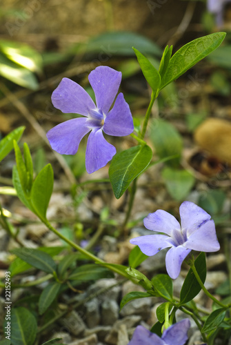 periwinkle in rockery