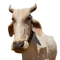 Cow 968