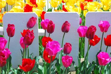 Tulips in Amsterdam.