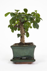 bonsai verticale
