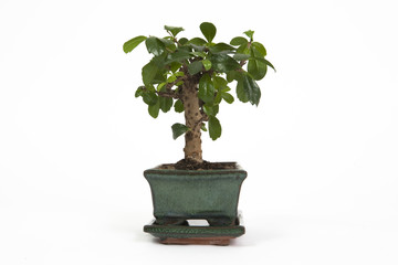 bonsai orizzontale