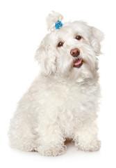 Maltese dog on white background