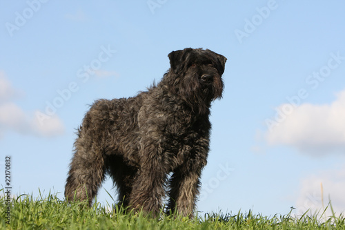 beautiful bouvier des Flandres on the grass, with blue sky