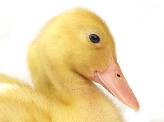 Cute duckling on white
