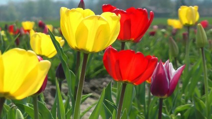 Tulpen in der Sonne - Tulips in the Sun - Video