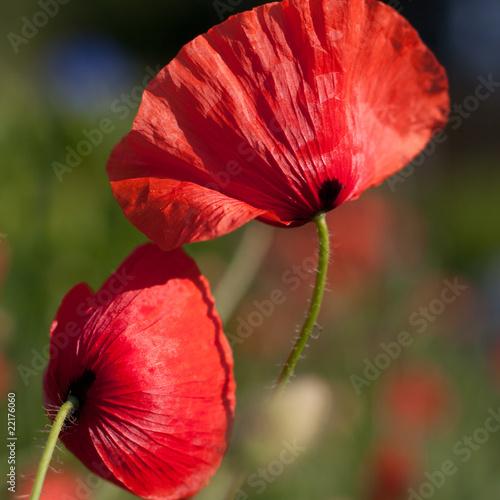 Poppies © B. and E.  Dudziński