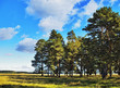 pines and meadow under blue sky