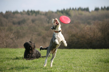 hund mit Frisbee