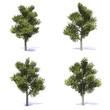 alberi frassino