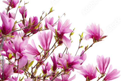 Fotobehang Magnolia Magnolia Branches
