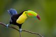 Leinwanddruck Bild - Keel Billed Toucan, from Central America.