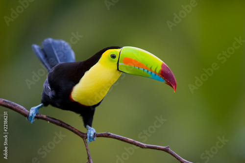 In de dag Toekan Keel Billed Toucan, from Central America.
