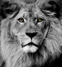 Lew oczy