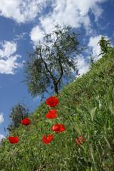 papaveri e olivi