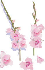 pink gladiolus flowers illustration