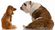 dachshund and english bulldog looking at each other