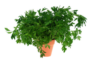 Parsley branches