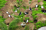 Puffins nesting in Newfoundland poster