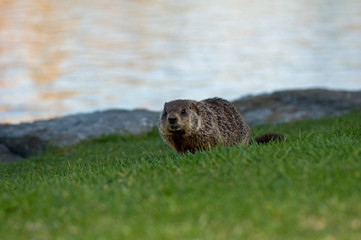 Groundhog, woodcuck on riverbank in evening light