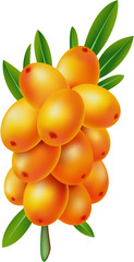Sea-buckthorn berries. Element  for design vector illustration.