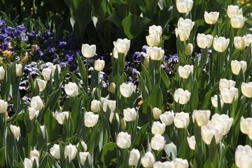 Viele weiße Tulpen