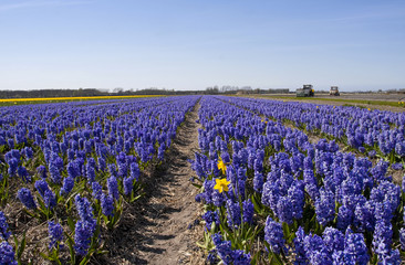 Dutch Bulb fields with purple hyacinth flowers