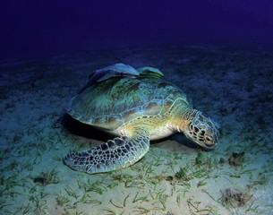Hawkbill sea turtle