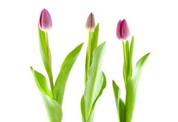 Three Dutch tulips over white background