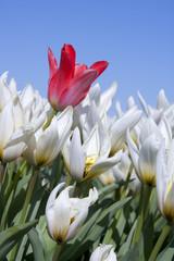 White tulips in closeup