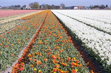 Dutch bulb fields with tulips