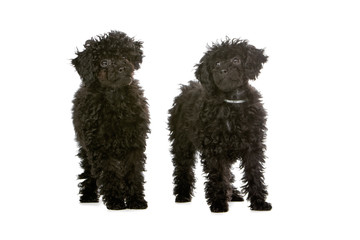 two toy poodle dog isolated on a white background